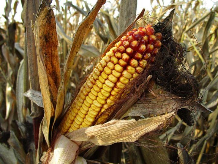 ЕС вводит импортные пошлины на кукурузу, рожь и сорго