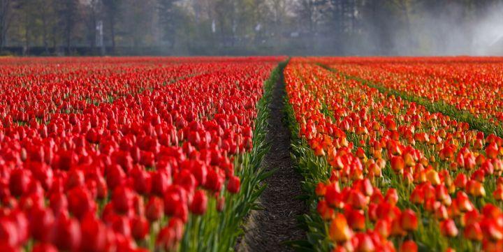 Россия запретила импорт цветов из Нидерландов